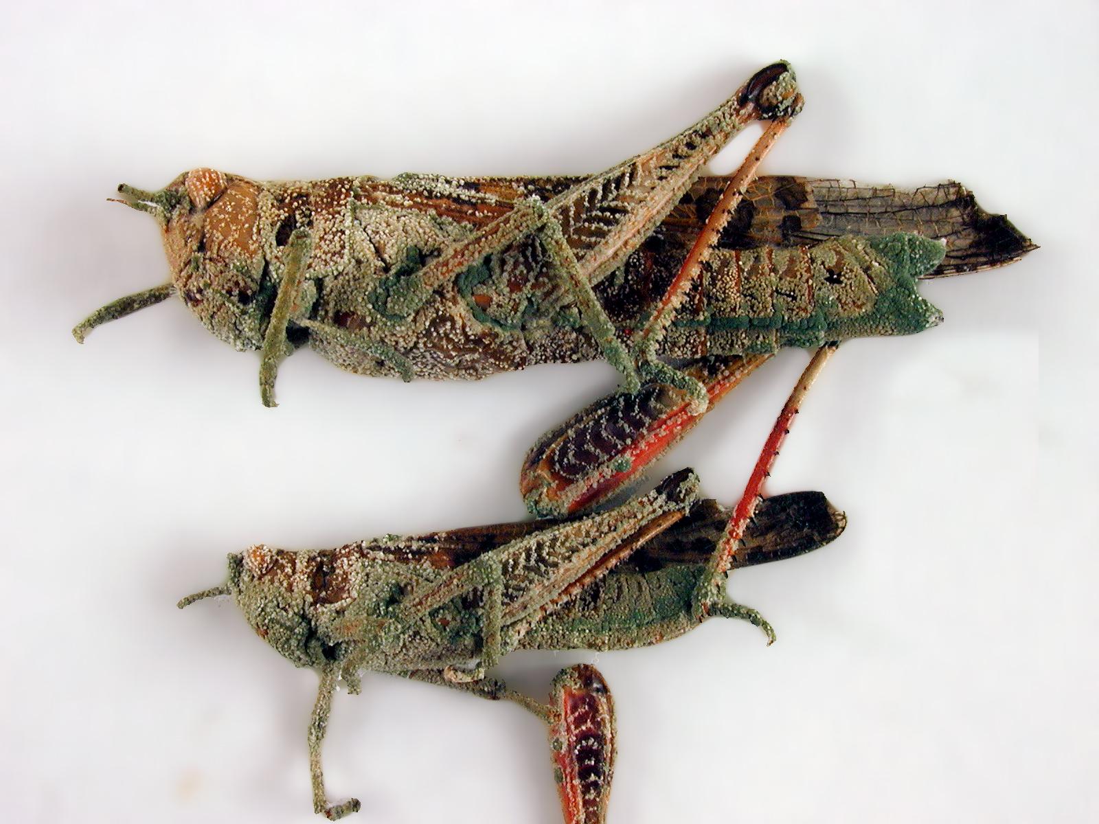 แมลงที่โดนเชื้อจุลินทรีย์ เมธาไรเซียม